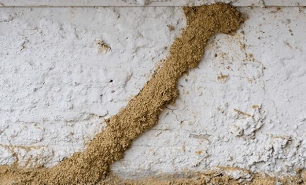 cara basmi rayap di tembok