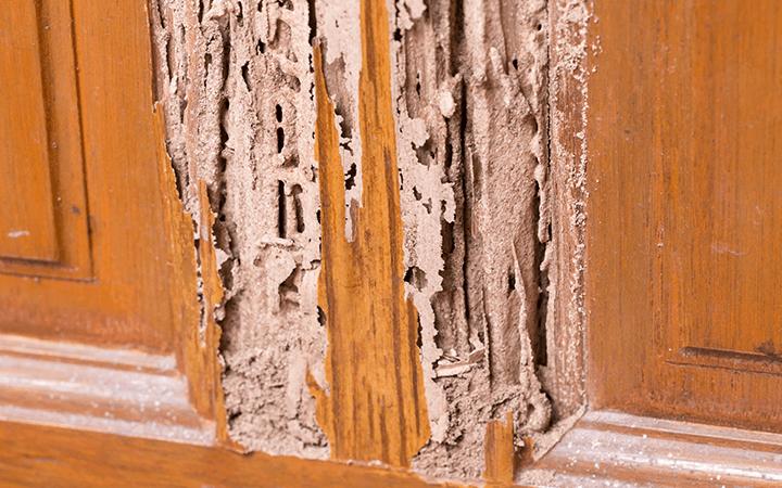 cara basmi rayap pada kayu